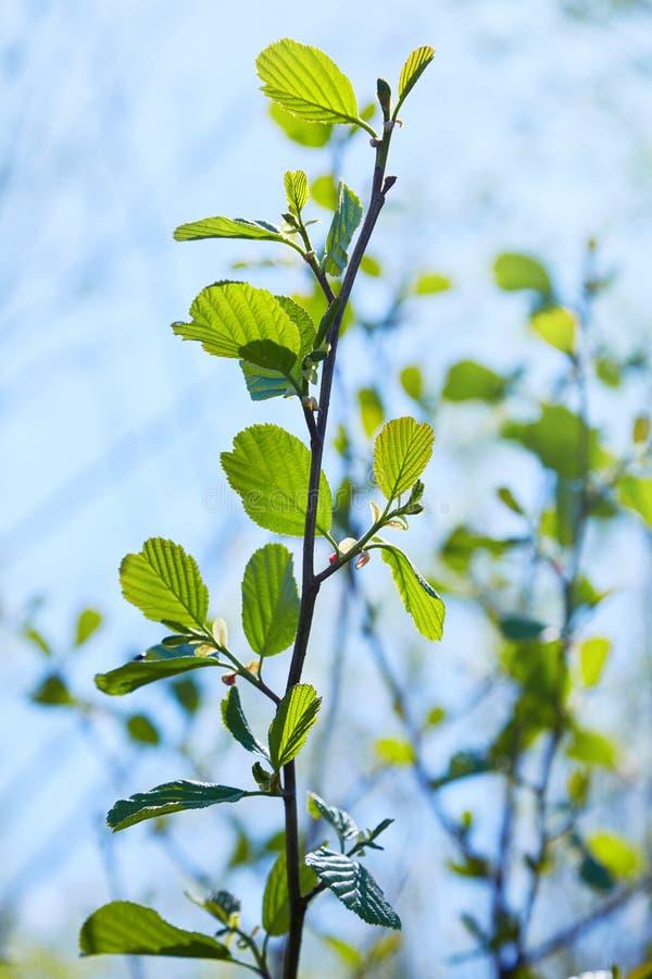Branche de glutinosa d'Alnus, l'aulne commun, aulne noir au printemps image libre de droits