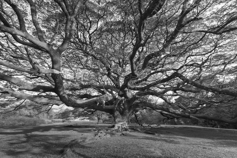 Branche de grand grand arbre géant photo stock