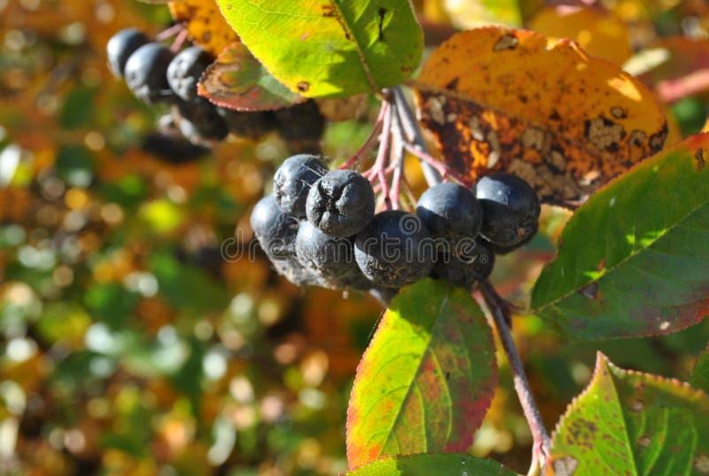 Branche de groseille en parc d'automne photographie stock libre de droits