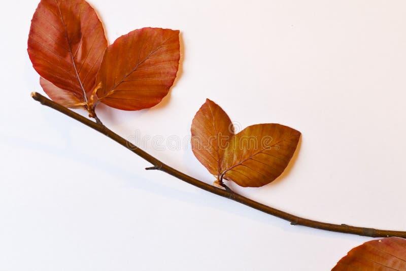 Branche de hêtre rouge avec des feuilles - la vie toujours photos libres de droits