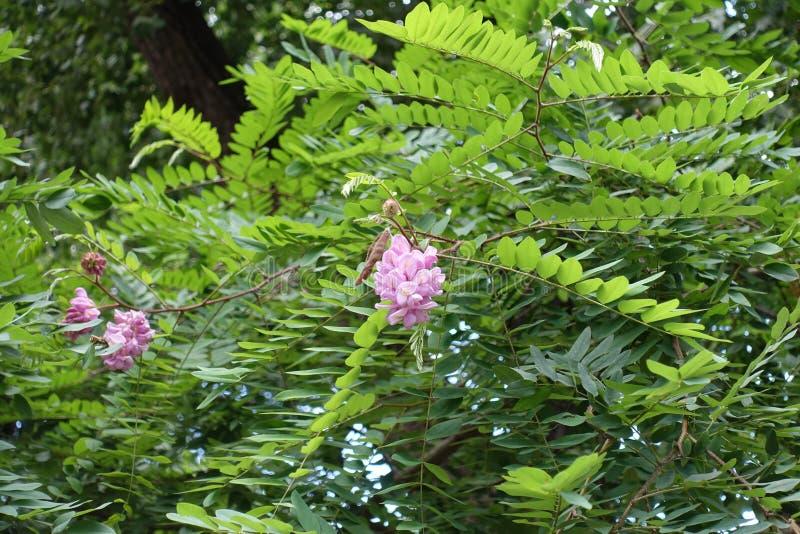Branche de hispida de Robinia avec des panicles des fleurs roses images libres de droits