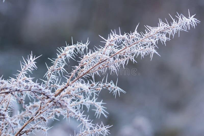 Branche de la grenouille blanche Frost Fin de l'automne Hiver Frappe Pelouse de campagne du hoarfrost image libre de droits