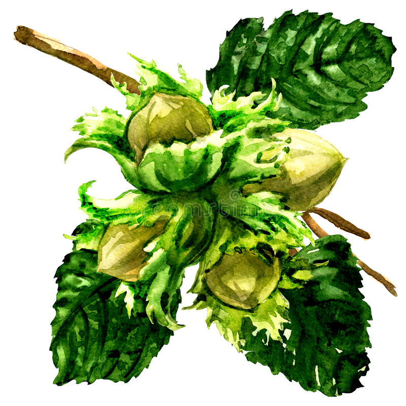 Branche de la noisette, des noisettes fraîches et des feuilles d'isolement, illustration d'aquarelle sur le blanc illustration libre de droits
