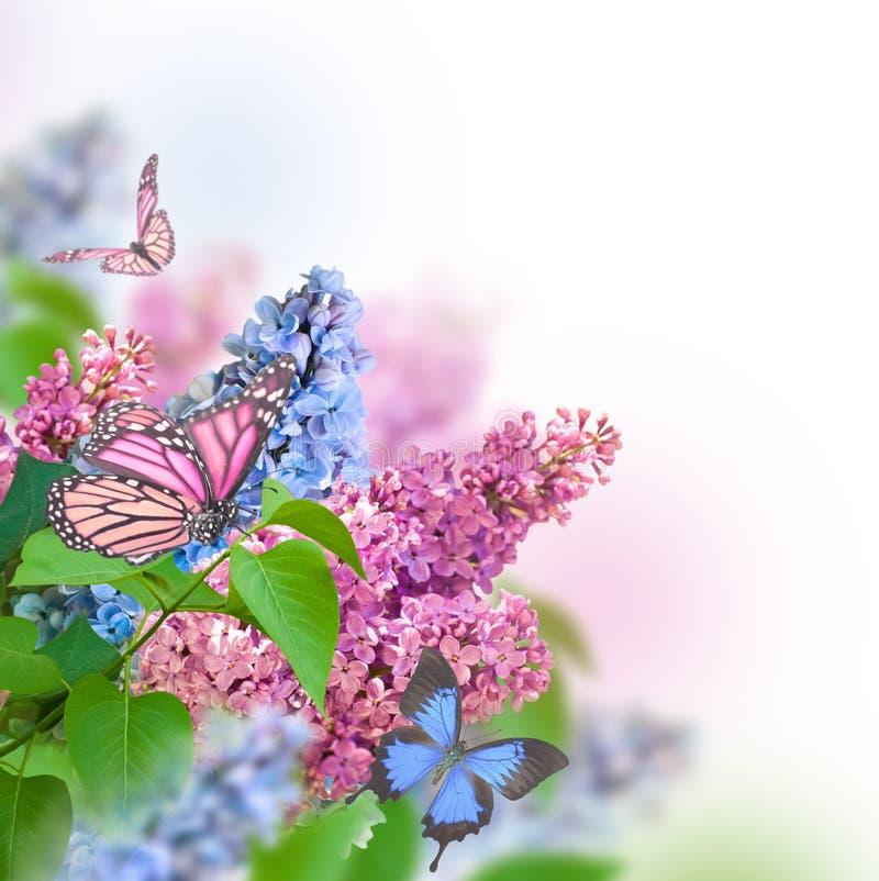 Branche de lilas photo libre de droits