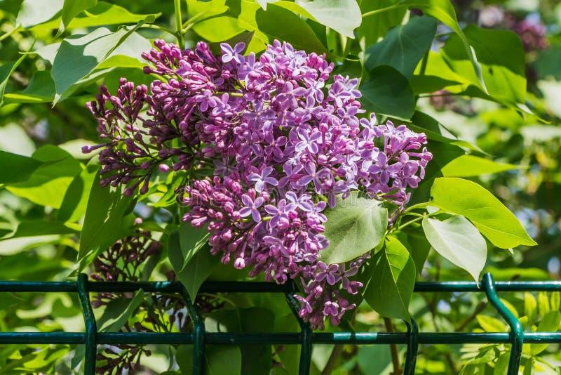 Branche de lilas pourpre avec les feuilles et les fleurs vertes de bourgeons sur un fond brouill? vert ? la barri?re en m?tal photo libre de droits