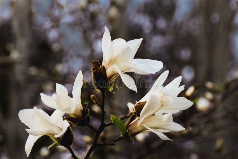 Branche de magnolia avec les fleurs blanches image libre de droits