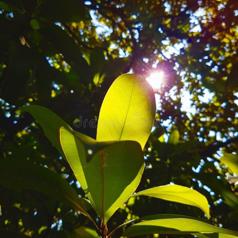 Branche de magnolia dans la lumière photo libre de droits