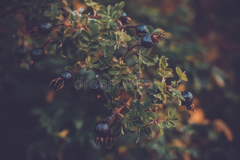 Branche de myrtilles d'automne d'un arbre de baie photo libre de droits