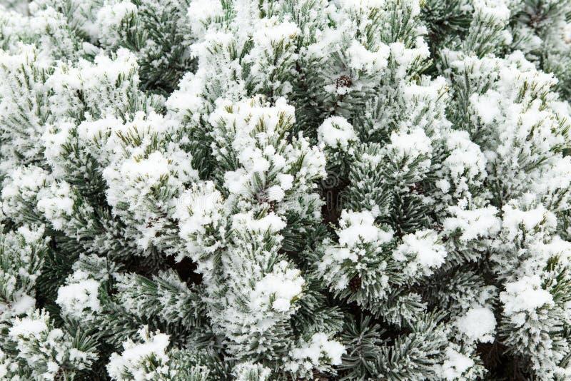 Branche de pin avec de longues aiguilles couvertes de Noël de gelée photographie stock libre de droits