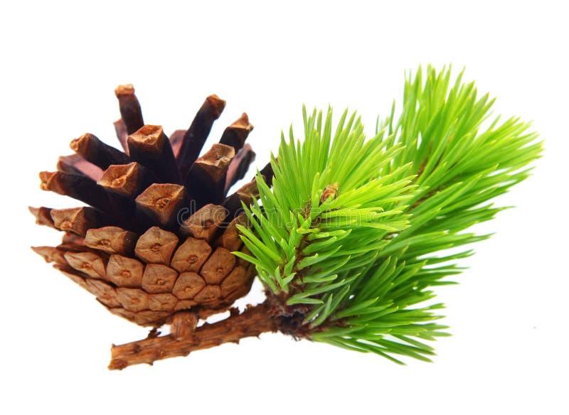 Branche de pin avec le cône images libres de droits