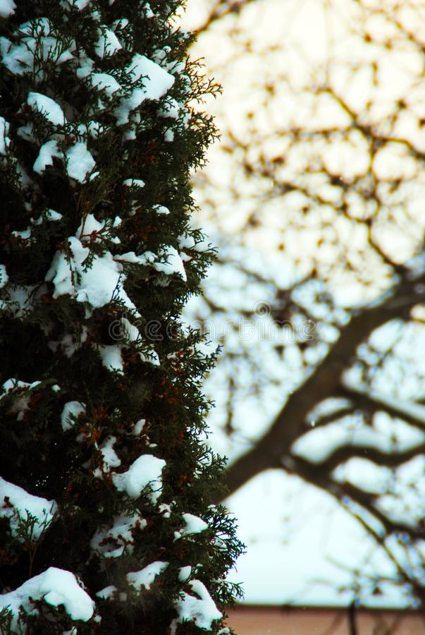 Branche de pin couverte de fond d'hiver de gelée image stock