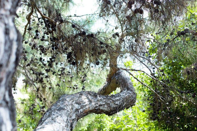 Branche de pin dans la forêt turque photo stock