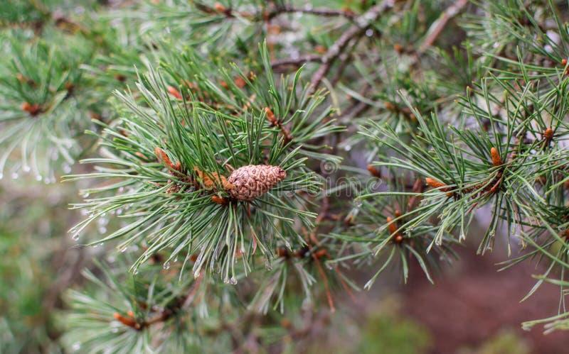 Branche de pin dans les baisses de pluie photos stock