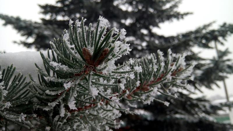Branche de pin en hiver images libres de droits