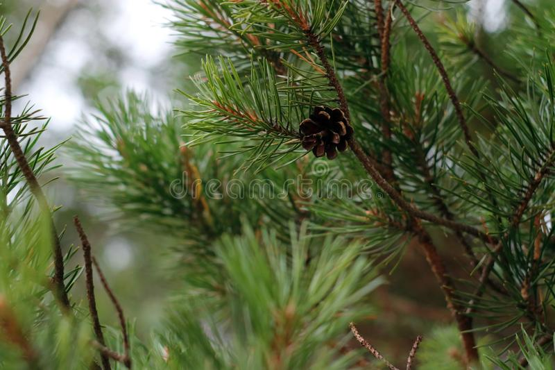 Branche de pin et cône de pin avec des éléments de bokeh comme fond photographie stock