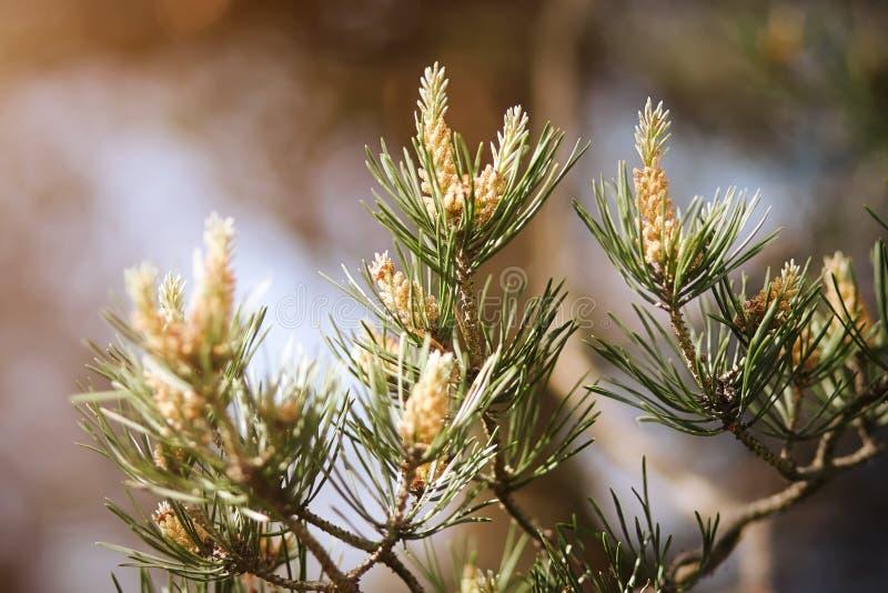 Branche de pin fleurissant pendant l'été photo libre de droits
