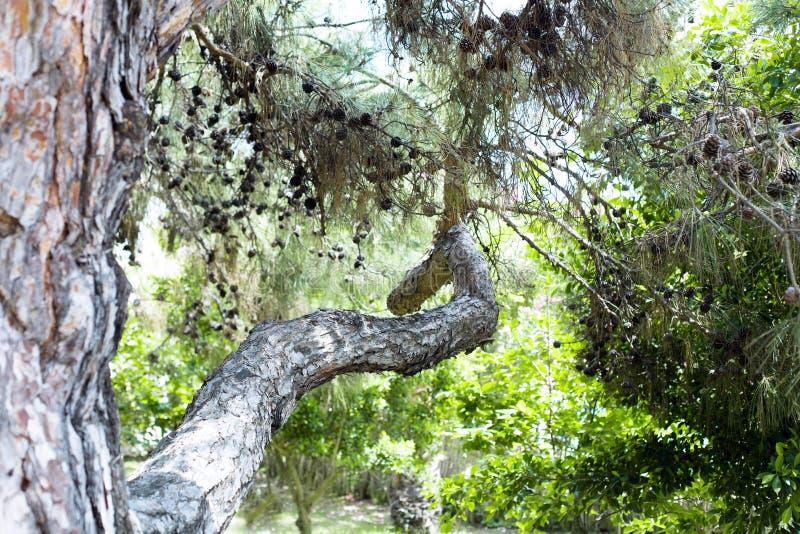 Branche de pins turque avec des cônes dans la forêt image stock