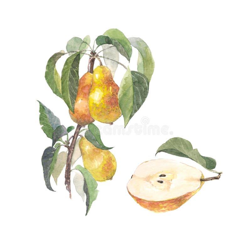 Branche de poire de fruit d'aquarelle Détails d'usine de jardin Ce garçon aime des sports et des jeux de plein air Peinture de de illustration stock