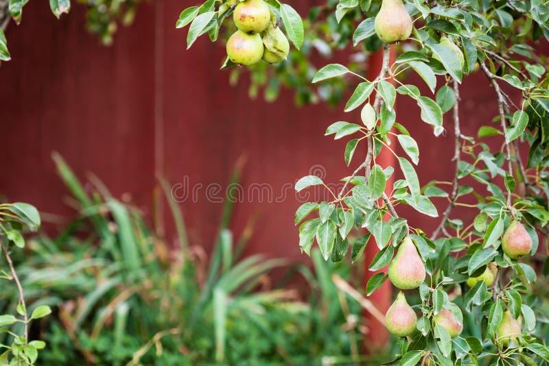 Branche de poirier avec des fruits sur l'arrière-cour images stock