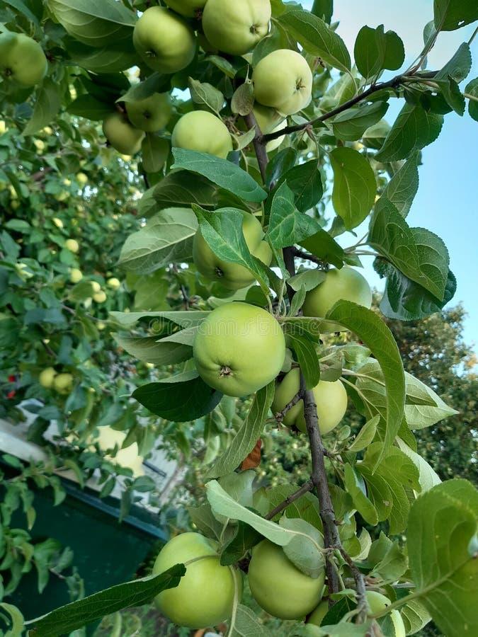 Branche de pommier avec le fruit photos libres de droits