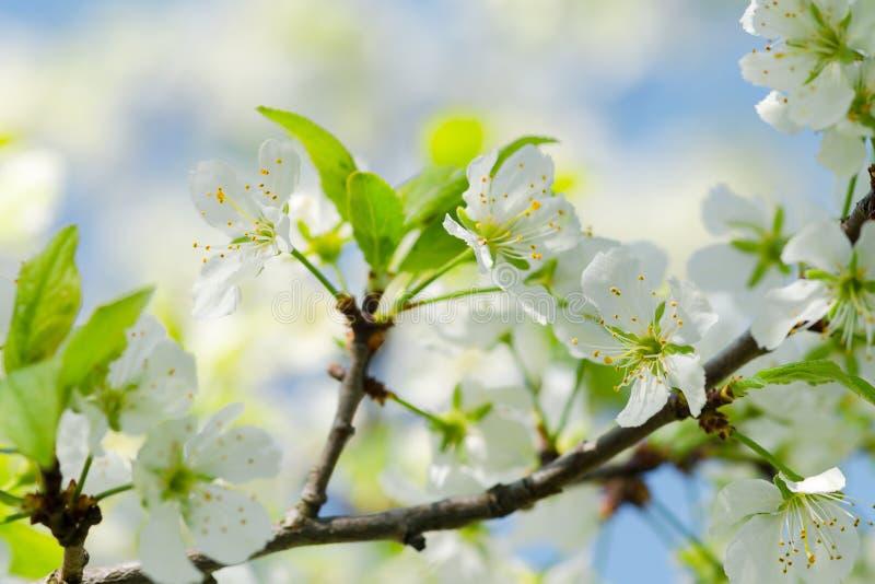 Branche de pommier avec les fleurs blanches dans un vieux jardin contre le ciel Orientation molle Macro Concept de ressort Fleurs photographie stock