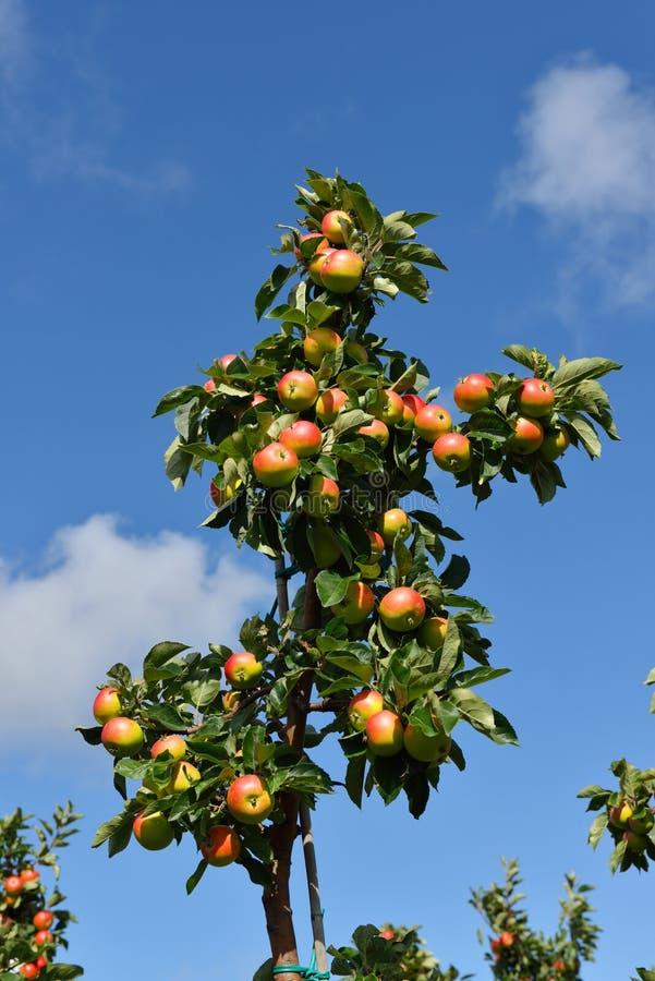 Branche de pommier avec les fruits mûrs sur un fond de ciel bleu photographie stock