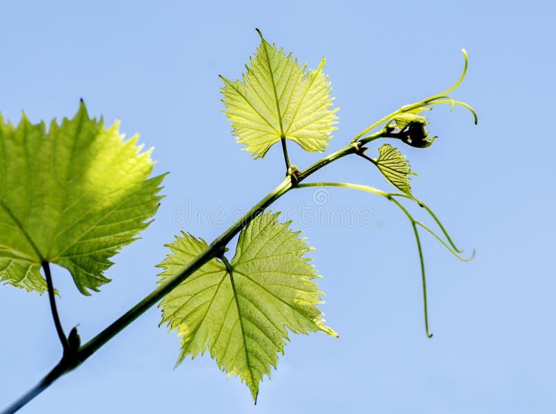 Branche de raisin avec de jeunes feuilles photos stock