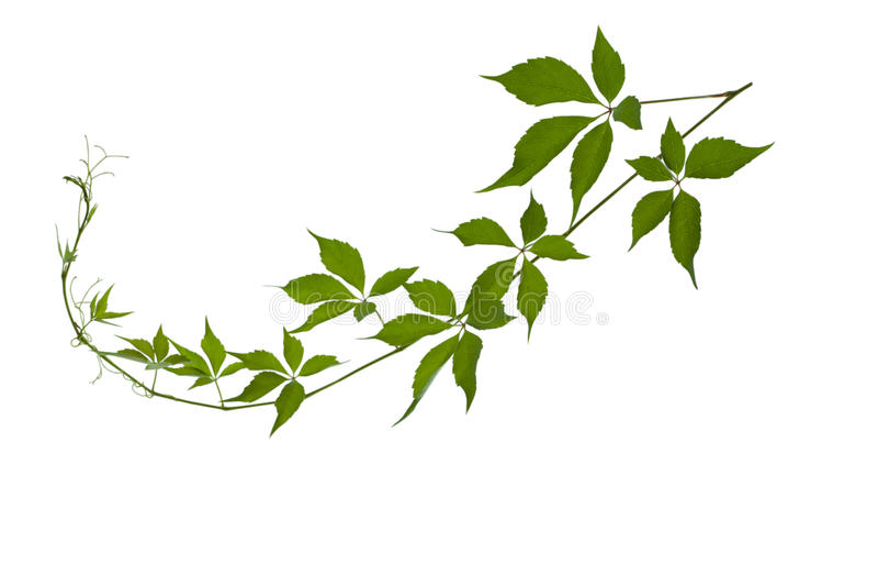 Branche de raisin avec des feuilles images stock