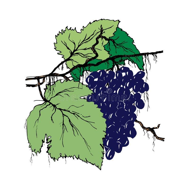 Branche de raisin sur un fond blanc ensemble Encre-dessiné de raisins avec des feuilles pour l'emballage et les menus de produit  illustration de vecteur