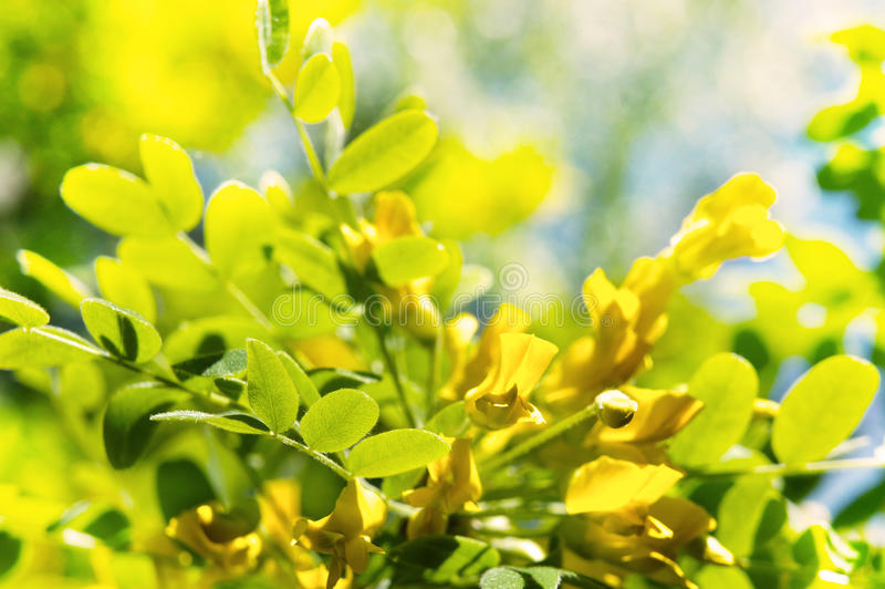 Branche de ressort et fleur d'acacia au-dessus du fond de bokeh image stock