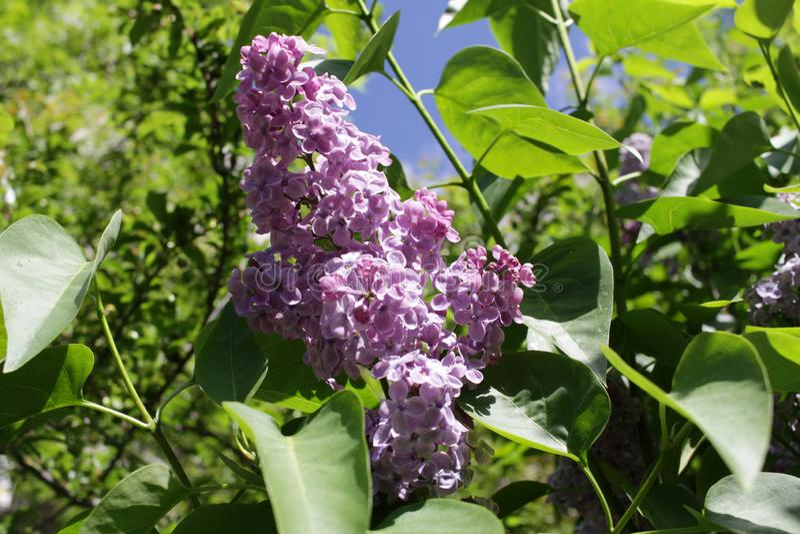 Branche de ressort de lilas de floraison avec le papillon et le ciel bleu avec des nuages Seringue Fleurs lilas photographie stock