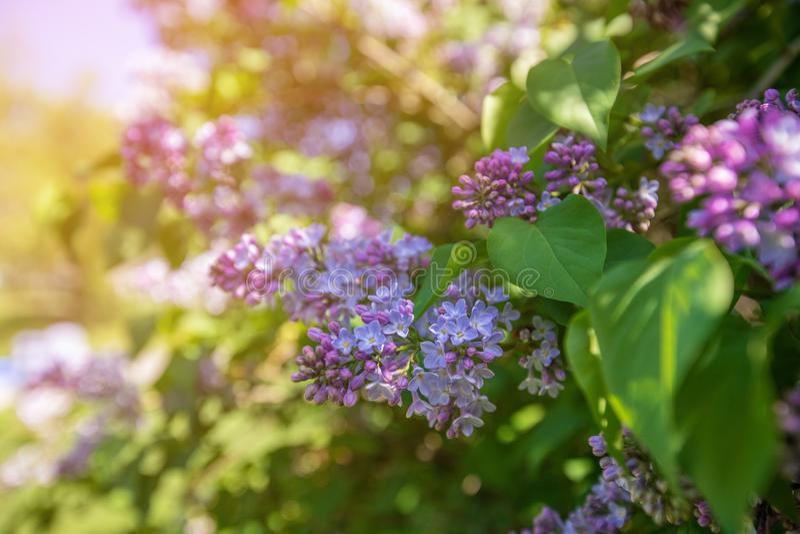 Branche de ressort de lilas de floraison Fond de nature photographie stock libre de droits