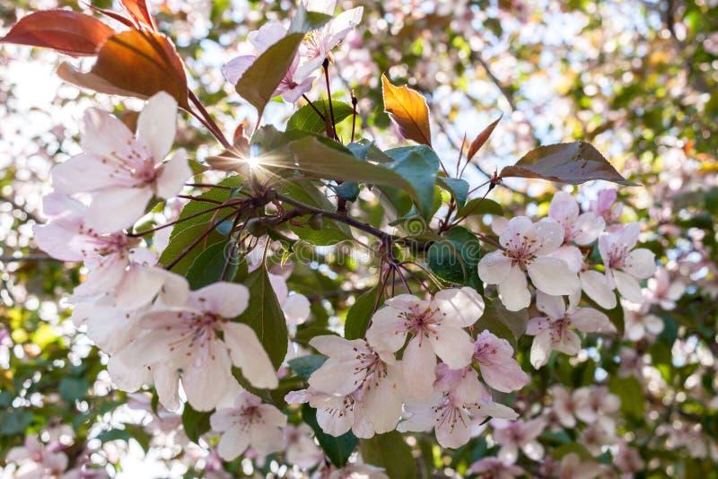 Branche de ressort de pâle - les rayons roses de Sakura et de soleil filtrent le thr image stock