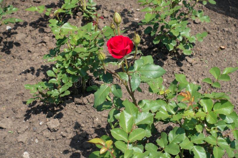 Branche de rose avec la fleur et les bourgeons rouges image libre de droits