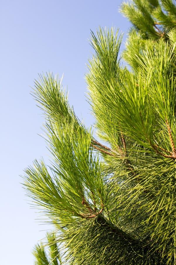 Download Branche de sapin image stock. Image du softwood, vert - 77160497