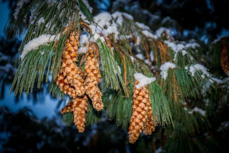 Branche de sapin avec des cônes de pin couverts par la neige dans le ` Aosta de Valle d photographie stock libre de droits