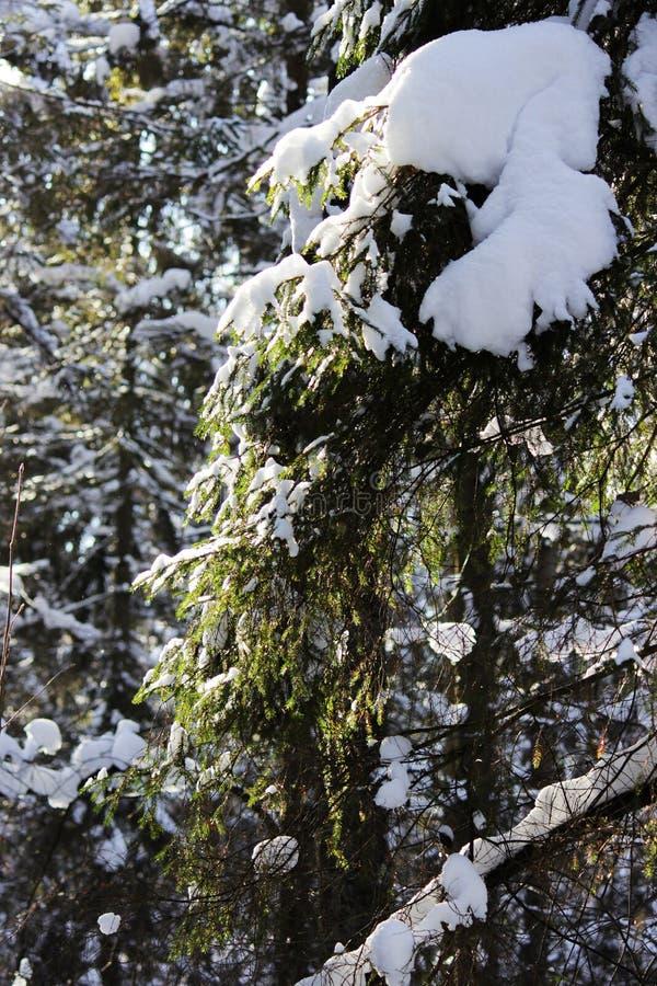 Branche de sapin dans la forêt, couverte de neige après des chutes de neige, en hiver image stock