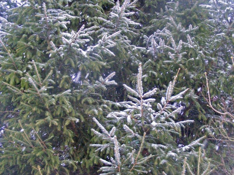 Branche de sapin givré, texture verte allante images libres de droits