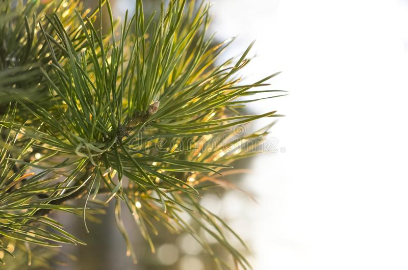 Branche de sapin de pin avec la lueur chaude de Sun Sur le fond blanc Carte de voeux, décoration, concept de construction avec l' photographie stock