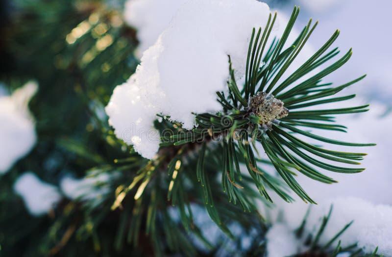 Branche de sapin sous la neige dans le rayon de la lumière images libres de droits