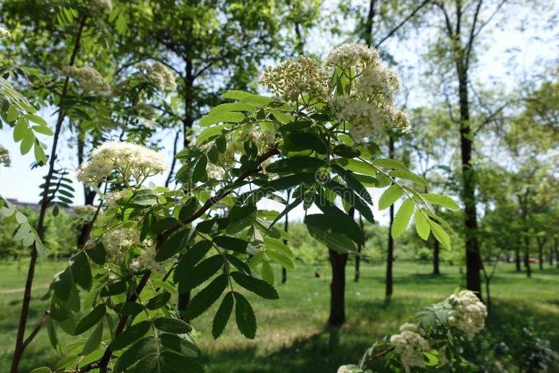 Branche de sorbe avec les fleurs blanches images libres de droits