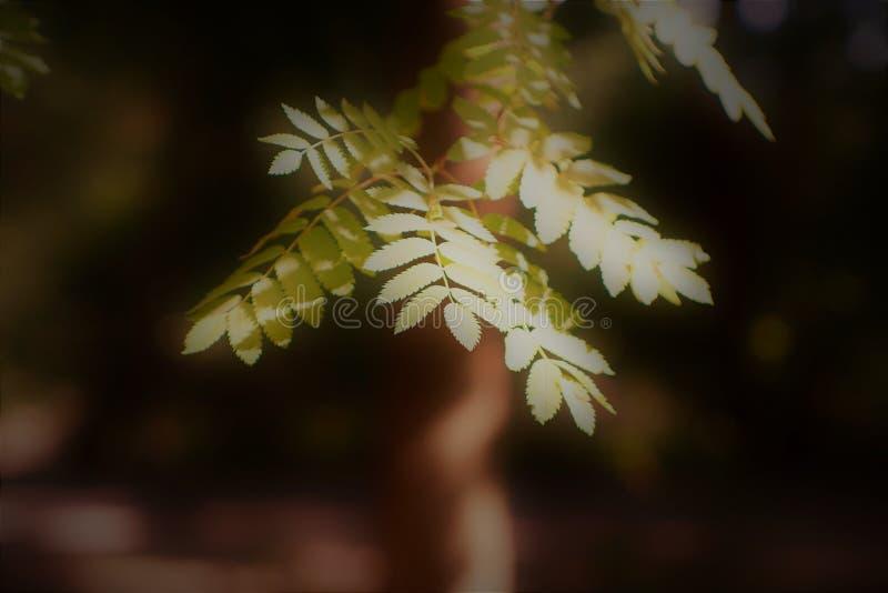 Branche de sorbe en vert chaud photographie stock