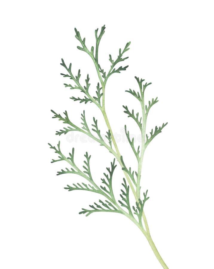 Branche de Thuja d'isolement sur le fond blanc Illustration d'aquarelle illustration de vecteur