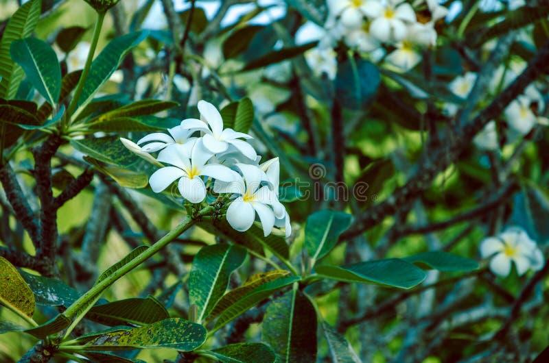 Branche de Tiare Flower blanche, taitensis de gardénia images libres de droits