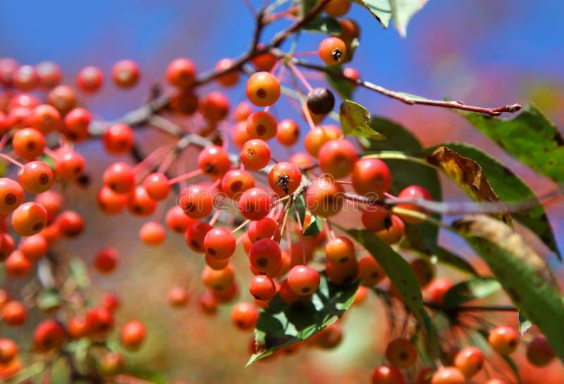 Branche de Viburnum photographie stock