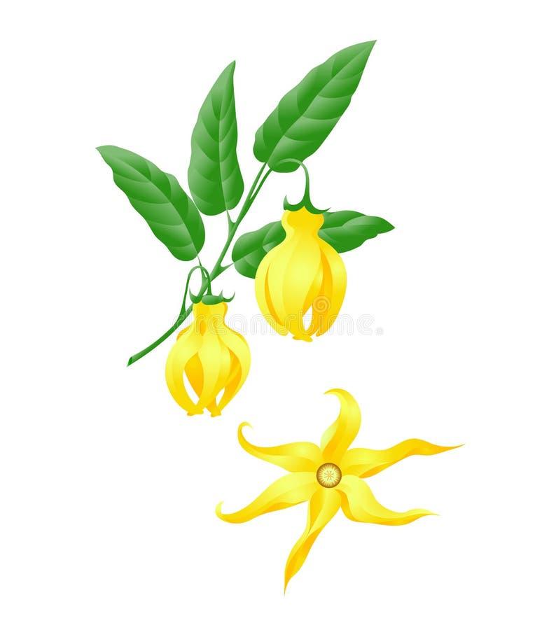 Branche de ylang de Ylang avec des fleurs image stock