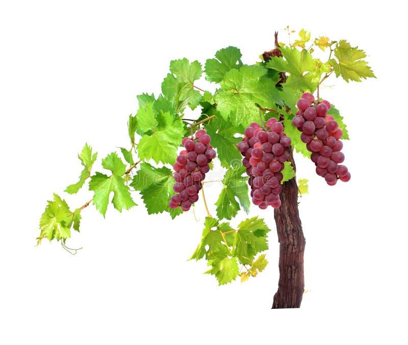 Branche des feuilles rouges de vigne d'isolement sur le fond blanc images stock