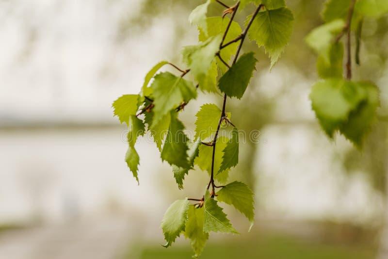 Branche des feuilles vertes de bouleau images stock