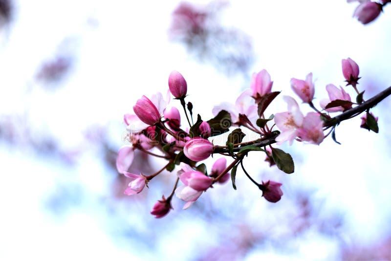 Branche des fleurs parfumées de ressort image libre de droits