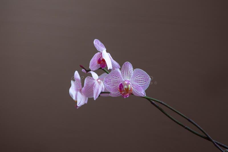 Branche des orchidées de floraison de couleur lilas tendre sur le fond brun images libres de droits